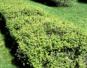 taillage arbustes